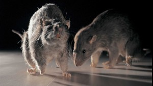 Hollywood rodents
